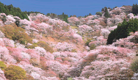 奈良吉野山の桜の穴場スポットや混雑状況は?出店もチェック